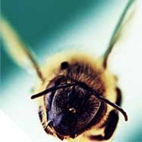 L'impiego terapeutico del veleno d'api