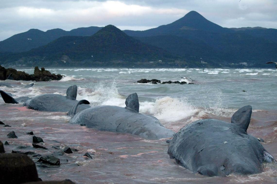 balene, giappone, spiaggiate