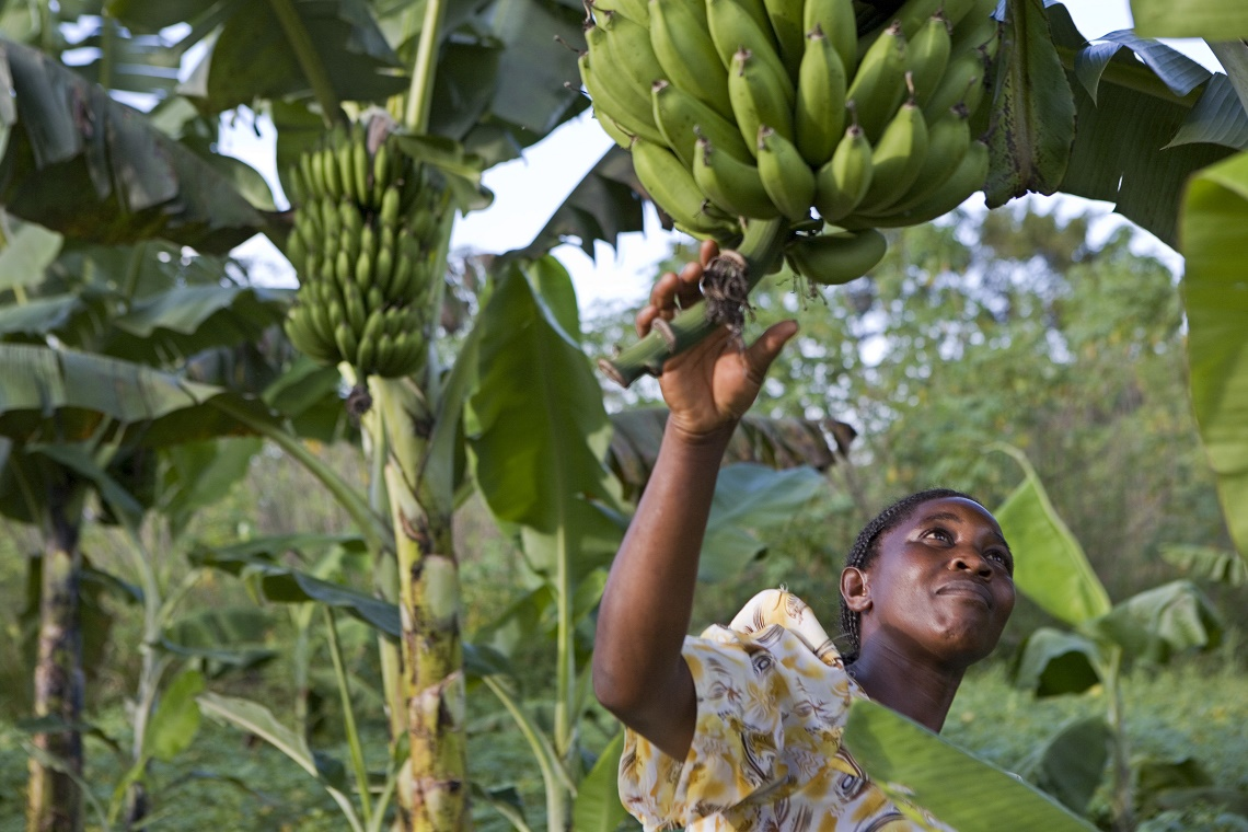 Piantagione biologica di banane in Uganda