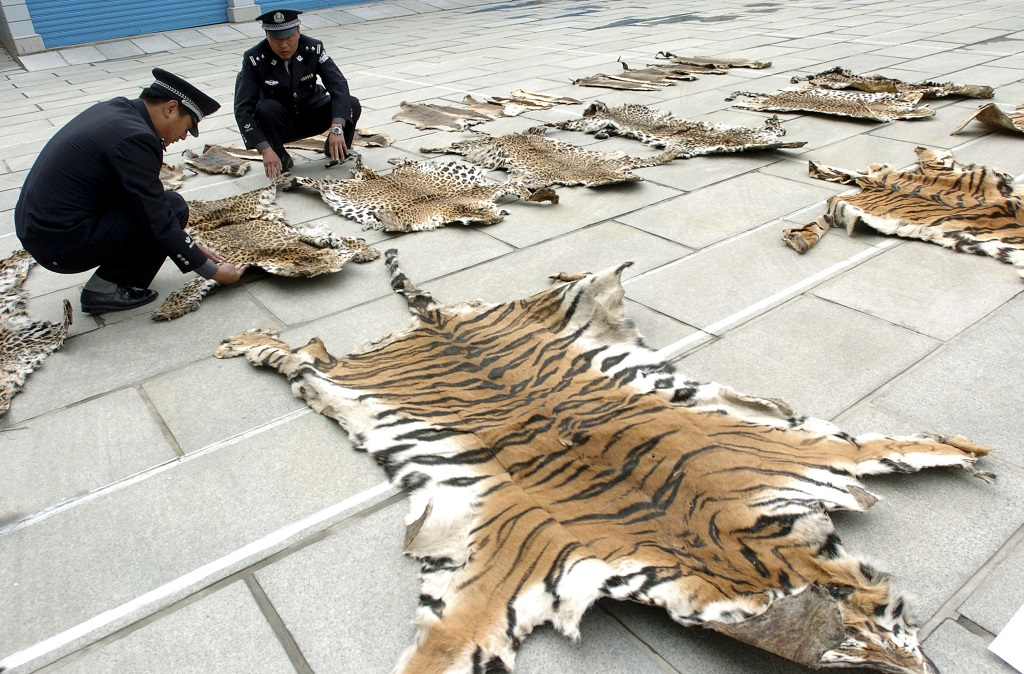 Lhasa Custom Prepares To Hand Over Confiscated Wild Animal Skins