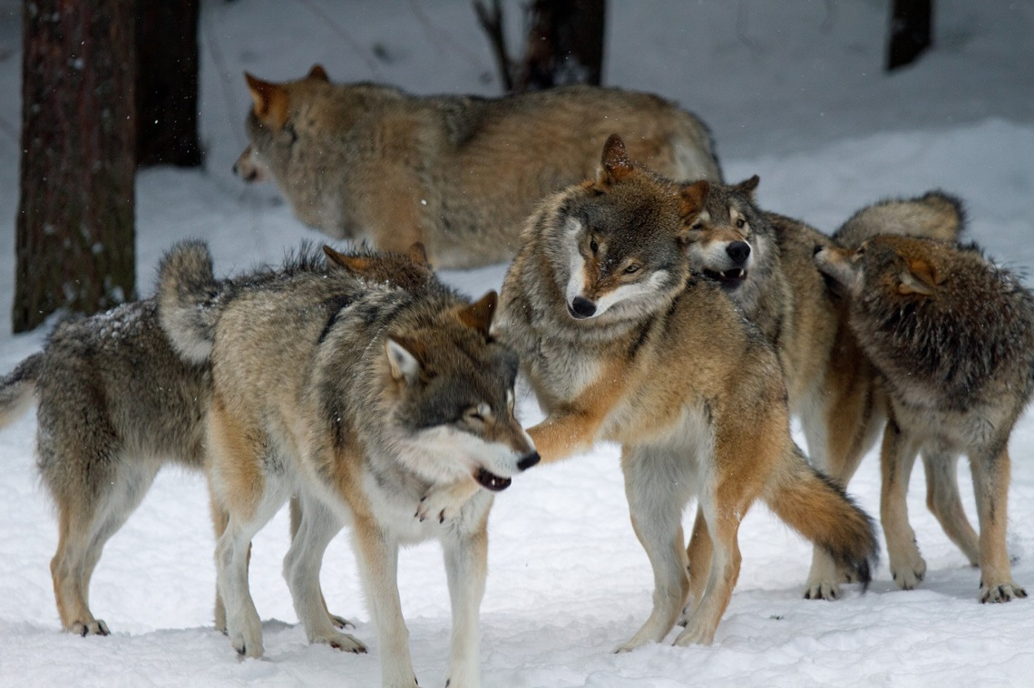 John Thornton Call Of The Wild Svezia, un tribunale v...