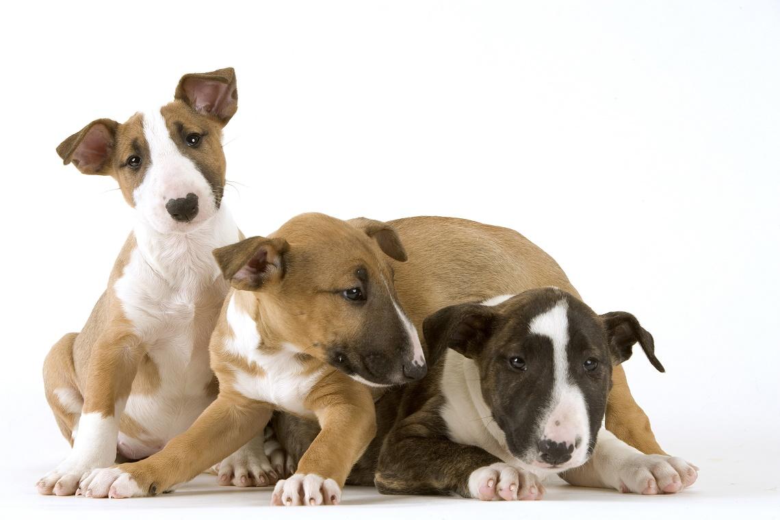 E Cattivo Il Bull Terrier Bull terrier: storia, ...