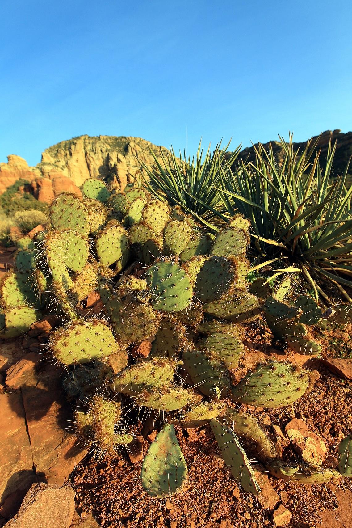 Piante Medicinale : I cactus sono più minacciati dei panda uno su tre rischia