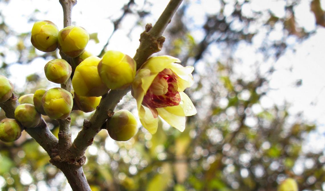 10 piante resistenti al freddo che fioriscono in inverno for Arbusti fioriti da giardino