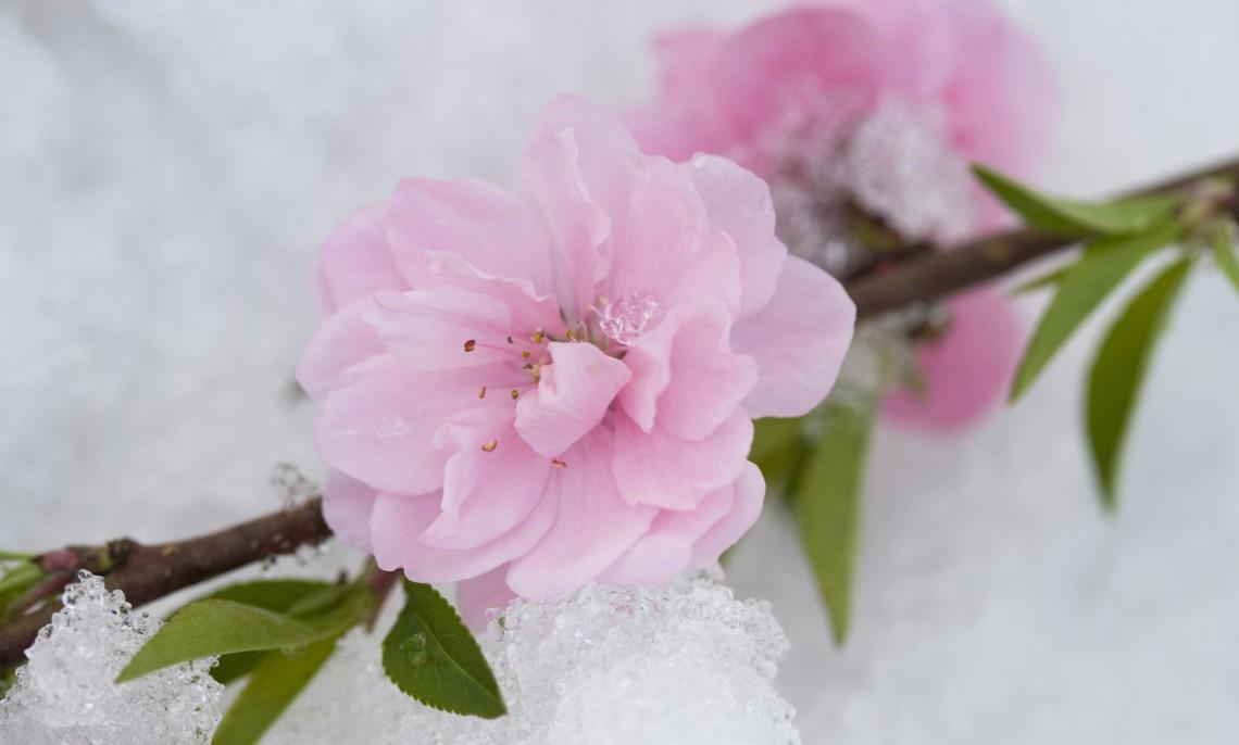 10 piante resistenti al freddo che fioriscono in inverno for Camelia fioritura