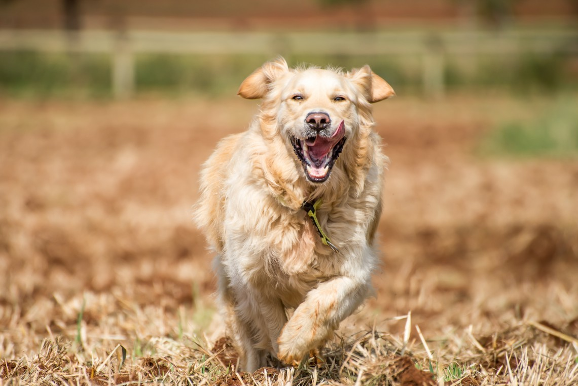 Golden Retriever at running through the fields at full speed, and enjoying herself.
