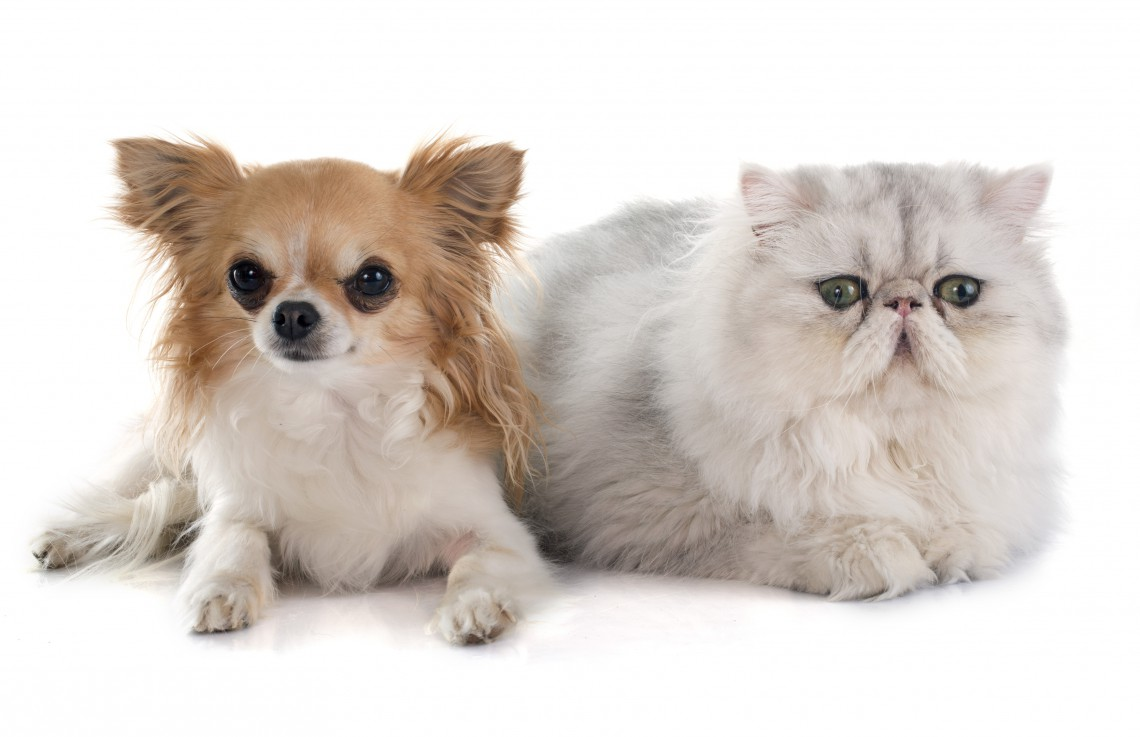 persian cat and chihuahua in front of white background