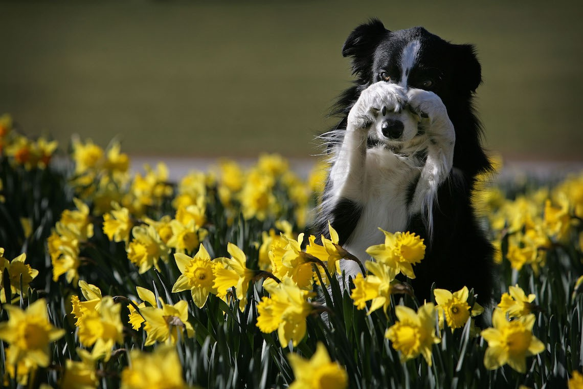 "Working Sheep Dog, severn-year-old Twig, performs tricks for photographers amongst the Spring daffodils during a photocall to launch Crufts 2008 at the National Exhibition Centre on March 4, 2008, in Birmingham, England. During this year's four-day competition 23,000 dogs and their owners will vie for a variety of accolades but ultimately seeeking the coveted ""Best In Show""."