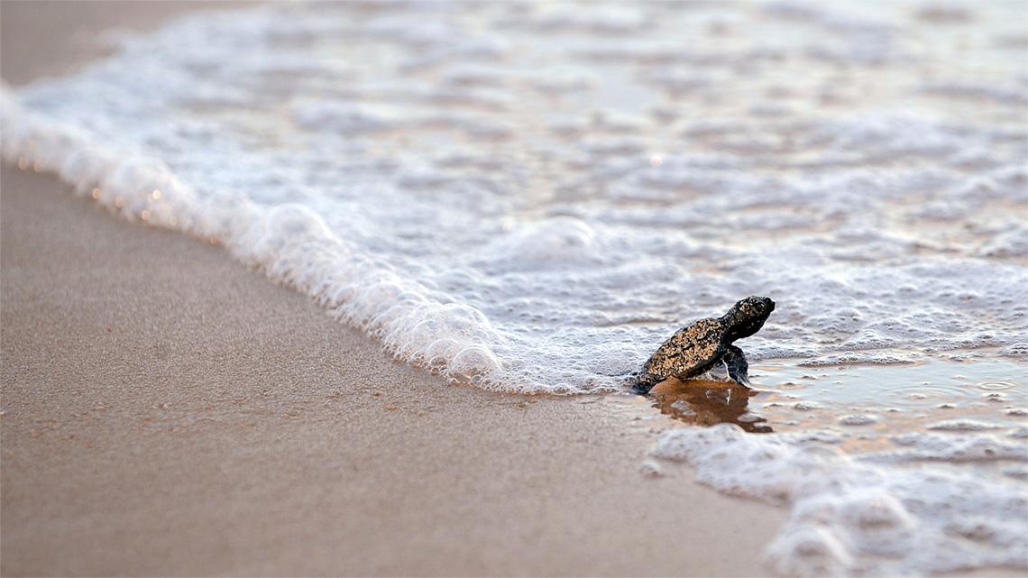 La difficile vita della tartaruga caretta caretta lifegate for Tartarughe di mare domestiche