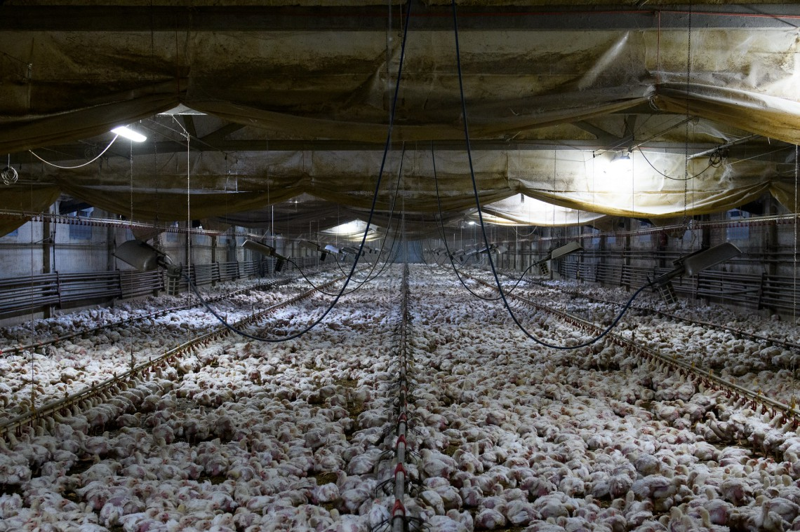 Il violento carico dei polli verso il macello, Essere Animali