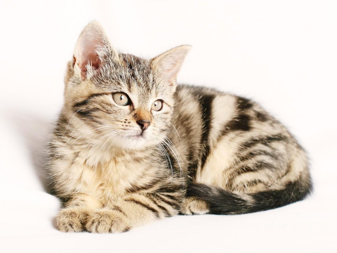 Come Prevenire Linsufficienza Renale Cronica Nel Gatto E Tenerla