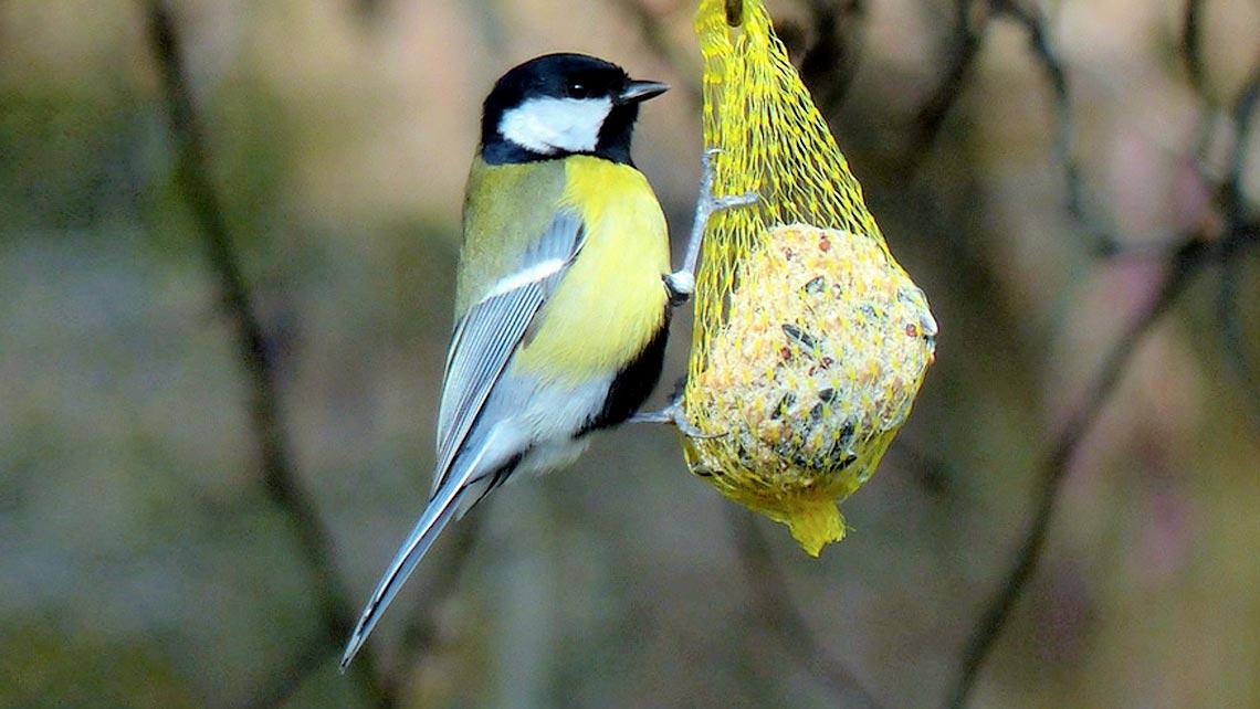 Cincia e palla di grasso e semi lifegate - Primavera uccelli primavera colorazione pagine ...