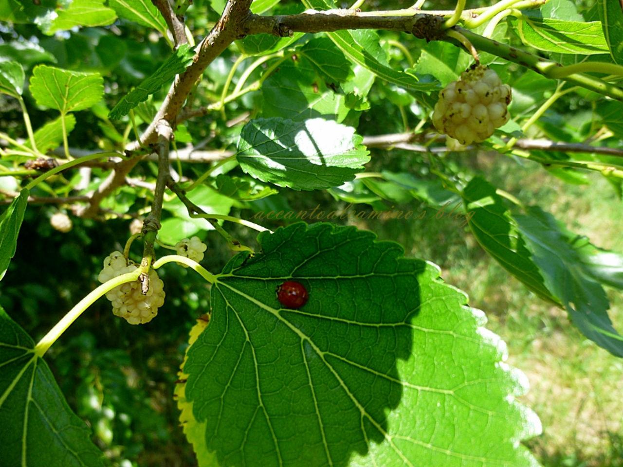 10 piante per attirare le coccinelle nel vostro giardino - Piante per giardino ...
