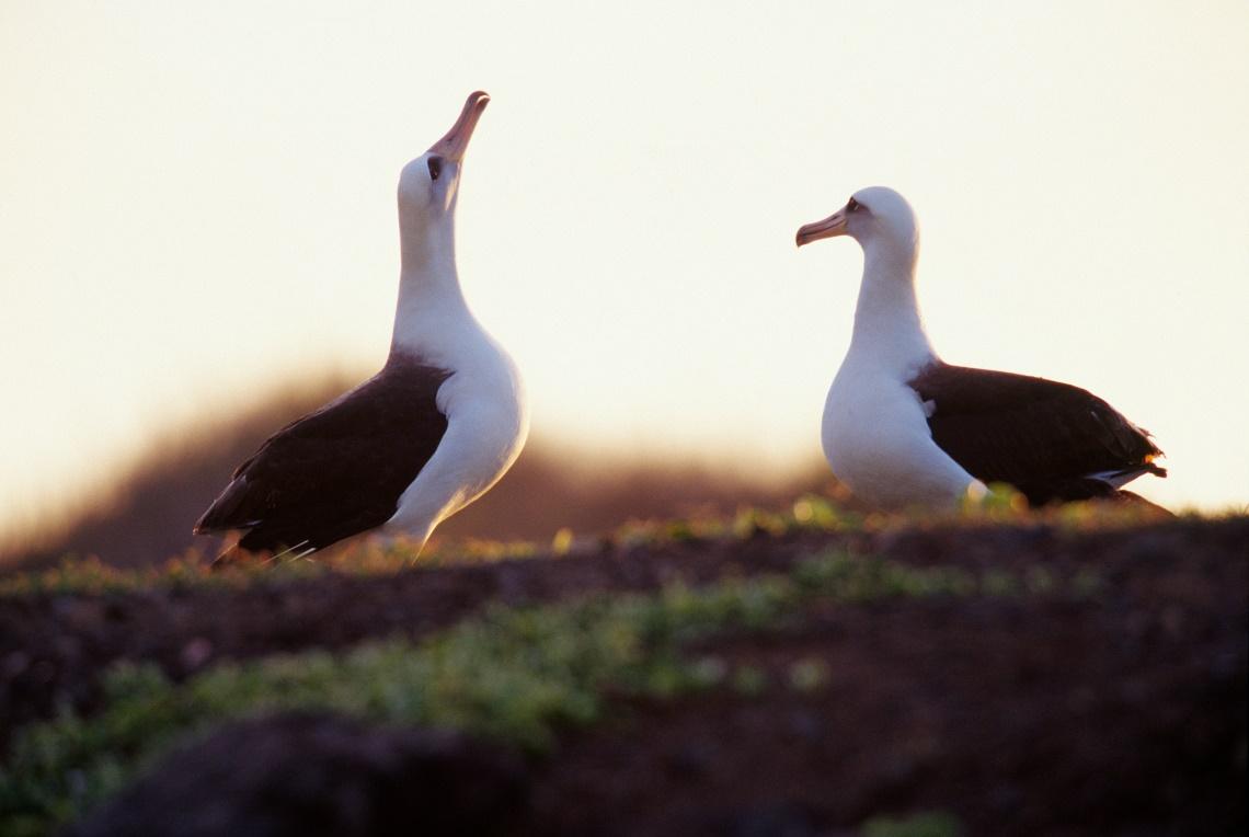 Coppia di albatros di Laysan alle Hawaii