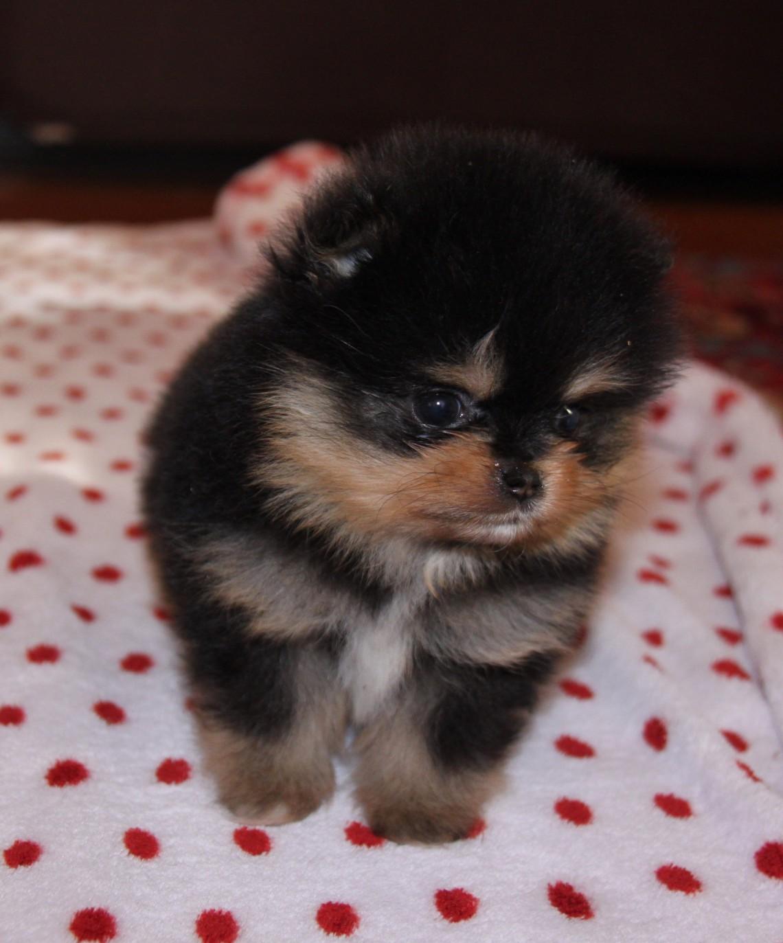 Volpino di pomerania caratteristiche del mini cane for Cani che non vogliono fare il bagno