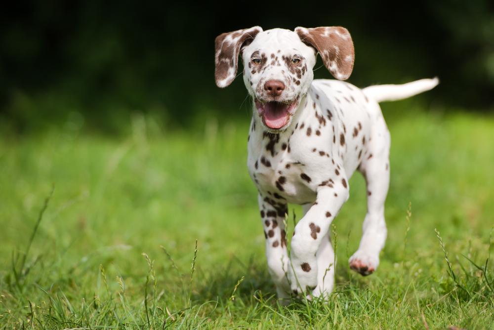 dermatologia veterinaria