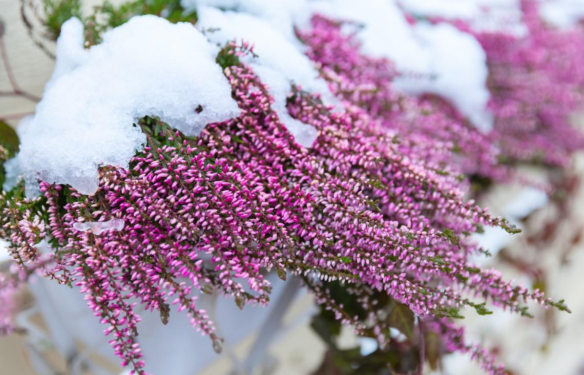 10 piante resistenti al freddo che fioriscono in inverno - Piante fiorite invernali da esterno ...
