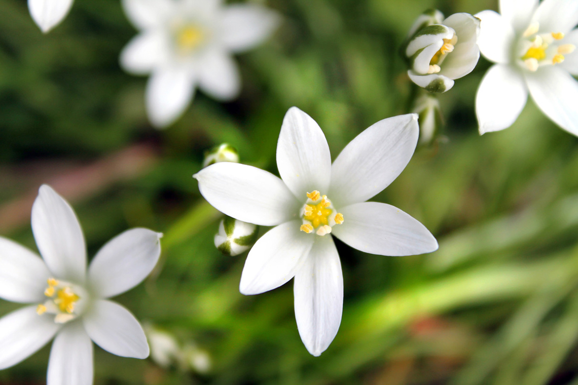 star of bethlehem fiori bach