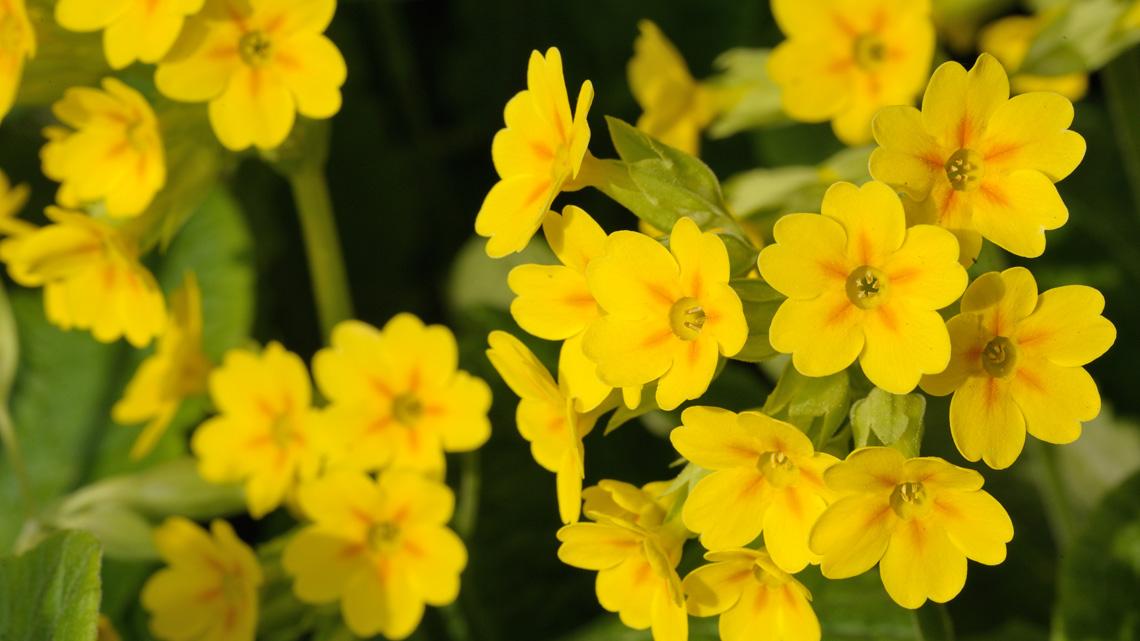 Fiori eduli l elenco dei fiori commestibili che puoi for Primule immagini