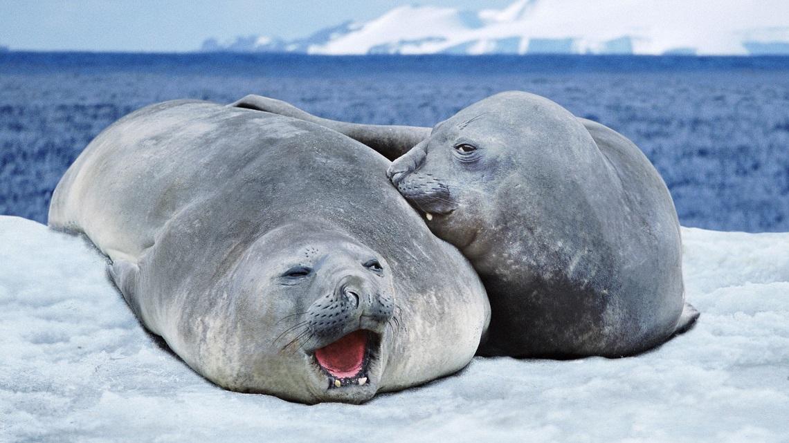 leopard seal vs sea lion