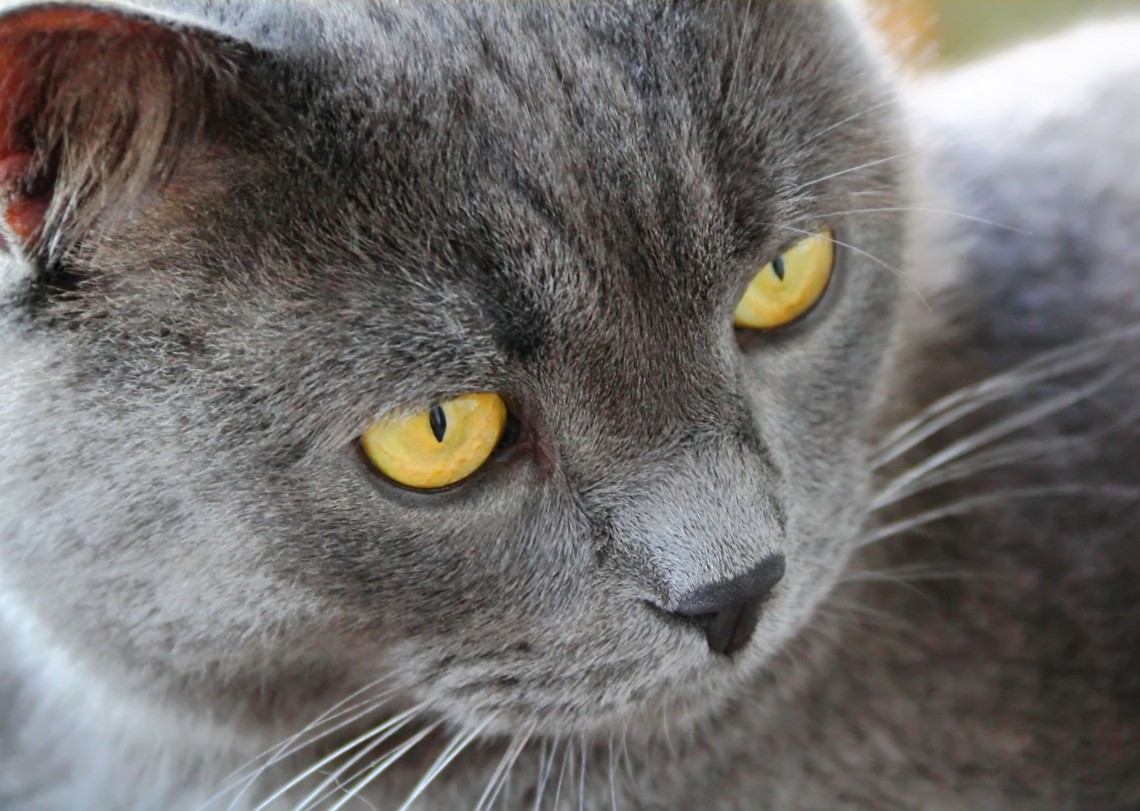 Image of cat's portrait with yellow eyes