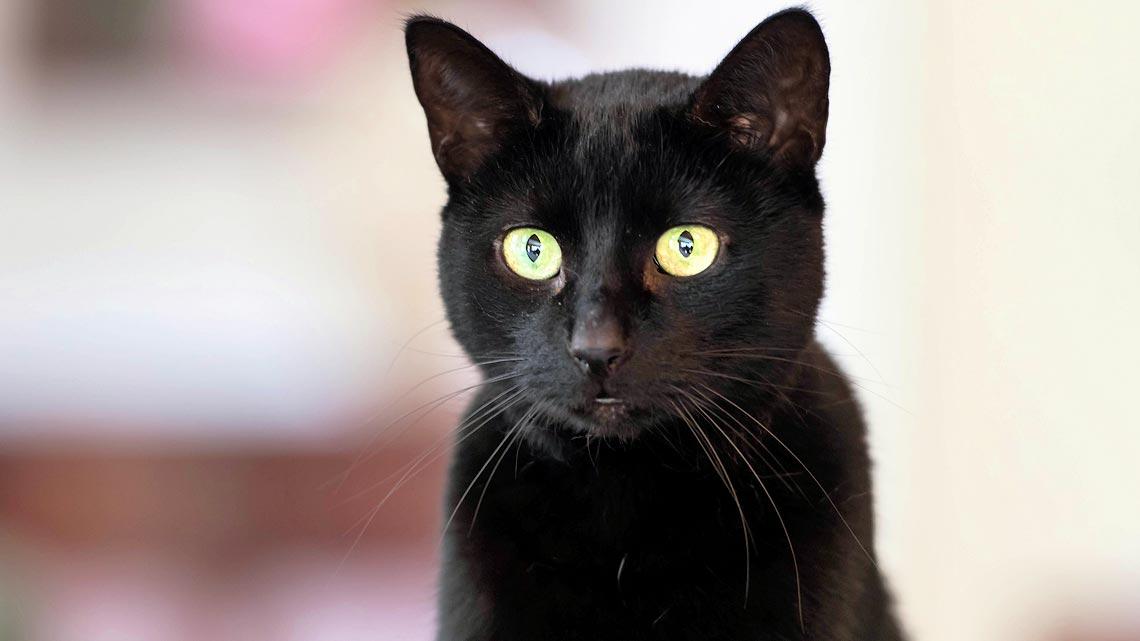 Il Gatto Nero Un Talismano E Porta Fortuna Ecco Perch