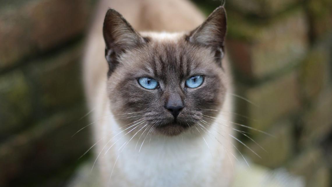 Il siamese, tutto quello che c\u00268217;è da sapere sul gatto che