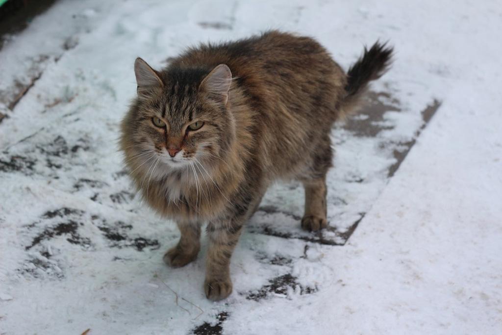 Gatto Siberiano Caratteristiche Del Nobile Felino Che Arriva Dalla