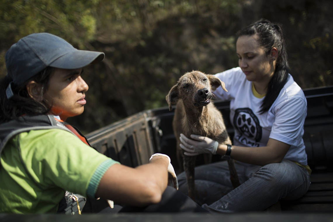 An injured dog is rescued after a dam burst at the small town of Bento Rodrigues in Minas Gerais state, Brazil, Friday, Nov. 6, 2015. Brazilian rescuers searched feverishly Friday for possible survivors after two dams burst at an iron ore mine in a southeastern mountainous area.  (AP Photo/Felipe Dana)