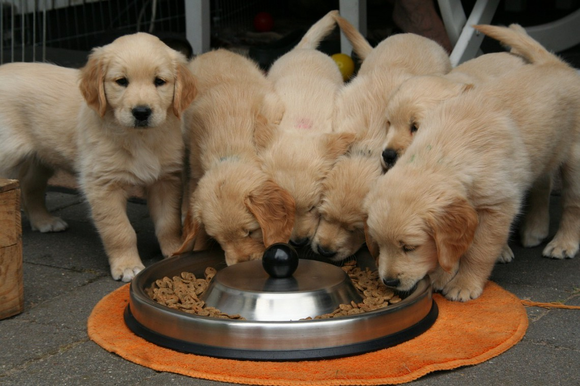 golden retriver dieta sana