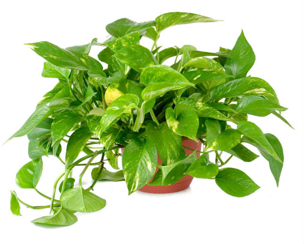 golden_pothos_co