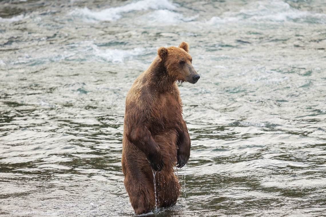 Grizzly in acqua