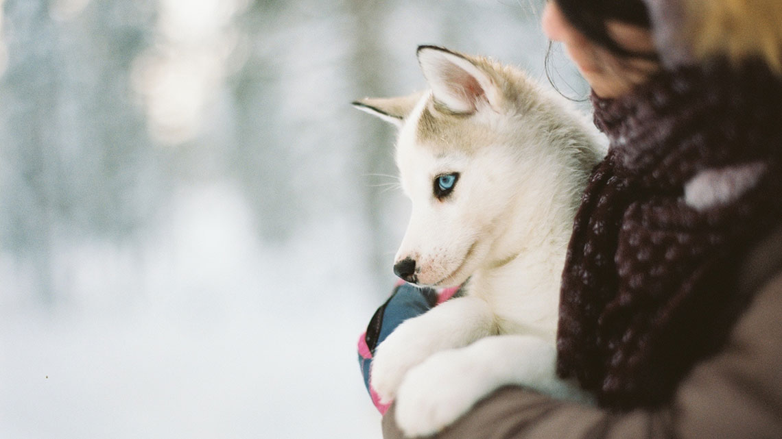 Husky il segreto degli occhi azzurri scritto nel dna lifegate - Husky con occhi diversi ...