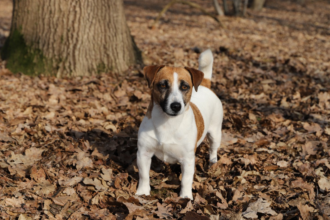 Jack Russell Terrier Il Piccolo Dal Carattere Indomabile