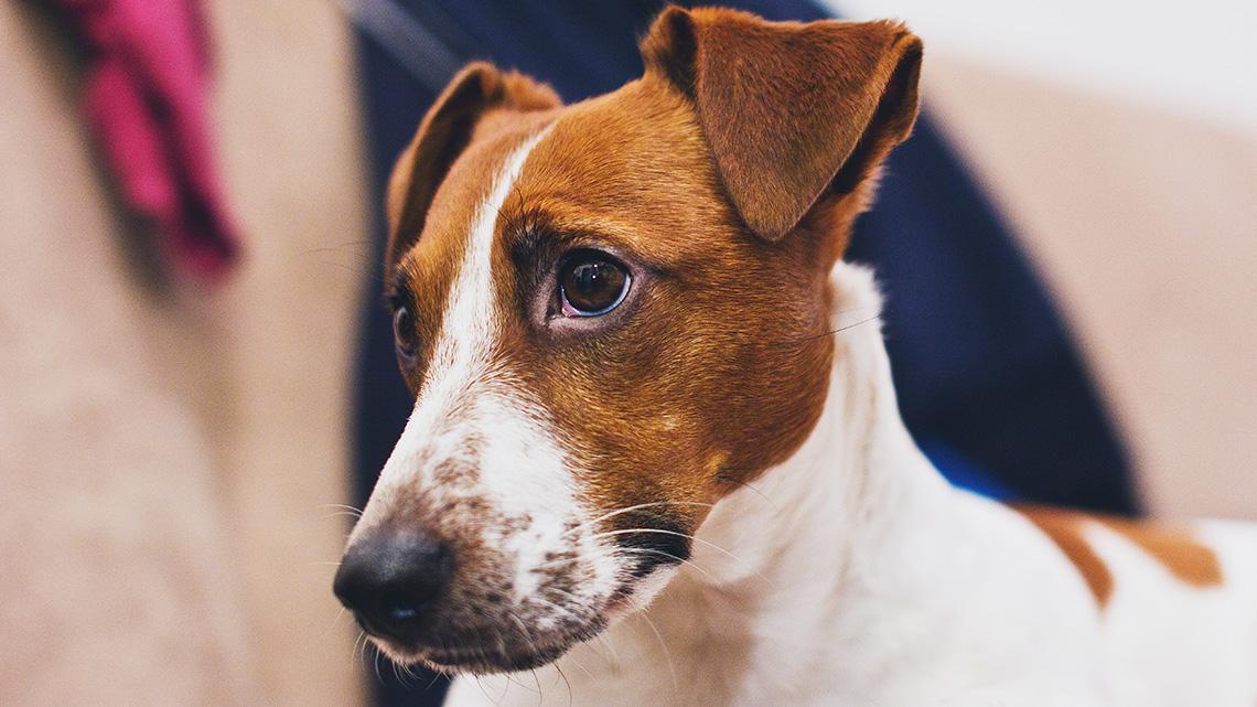Jack Russell Terrier Il Piccolo Dal Carattere Indomabile Che Fa