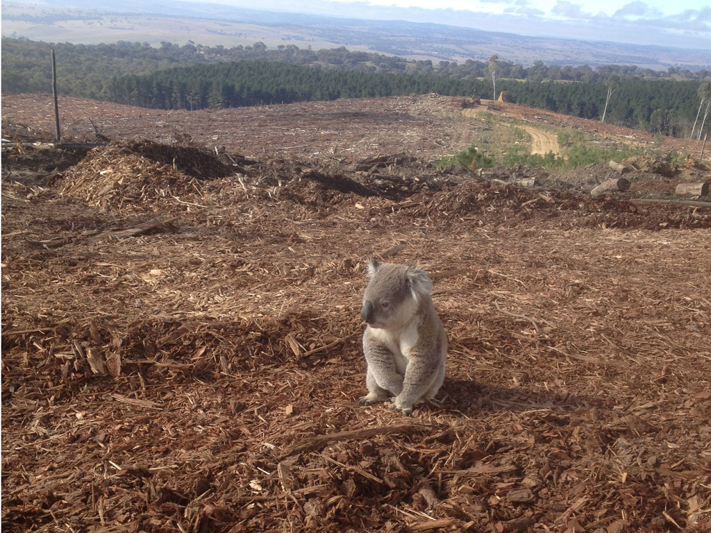 Kaola saved from deforestation