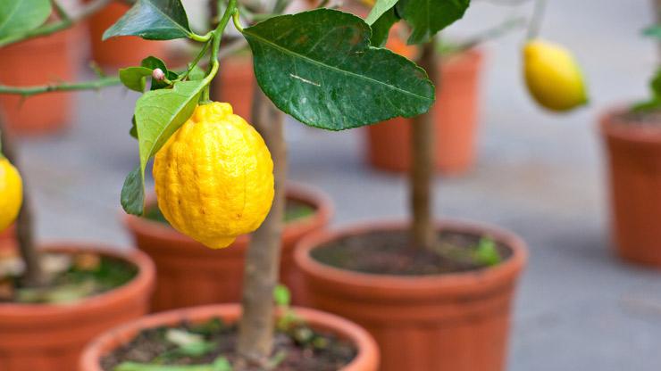 Come coltivare i limoni in vaso lifegate for Coltivare limoni