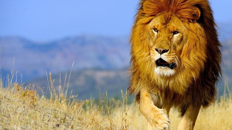 Torna il leone in gabon era dichiarato estinto lifegate for Sfondi leone