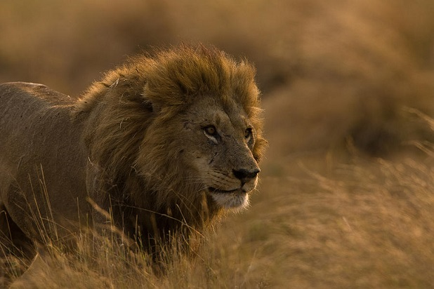 Torna il leone in gabon era dichiarato estinto lifegate for Immagini leone hd
