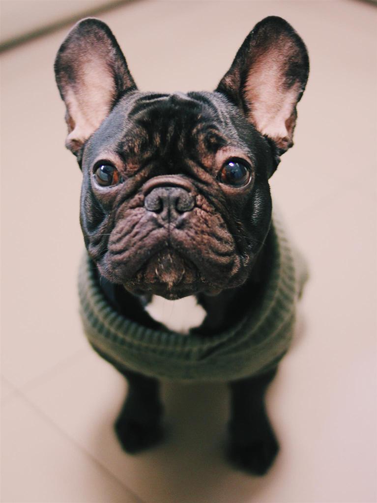 Bouledogue Francese Temperamento E Caratteristiche Del Cane Piccolo