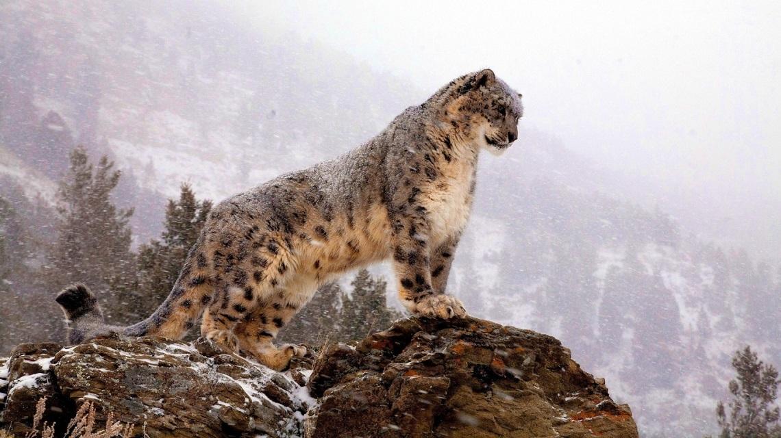 Risultati immagini per leopardo delle nevi