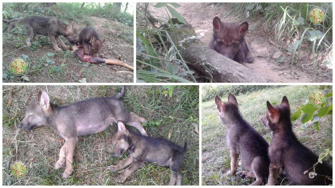 Famoso Achille e Ulisse, la storia di due cuccioli di lupo salvati dall  CG87