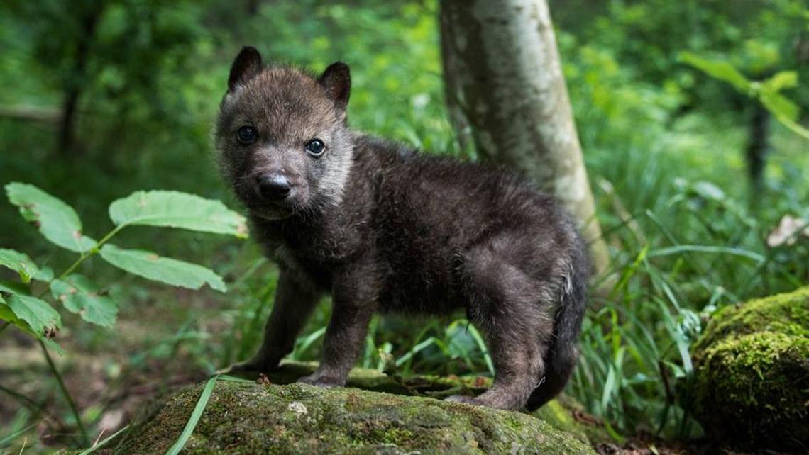 Preferenza Achille e Ulisse, la storia di due cuccioli di lupo salvati dall  LI77