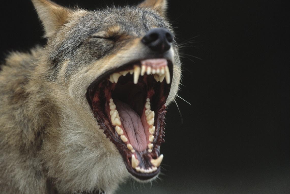 lupo-bocca-spalamcata.jpg