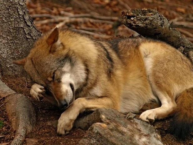 Black Tar In Dogs Ear