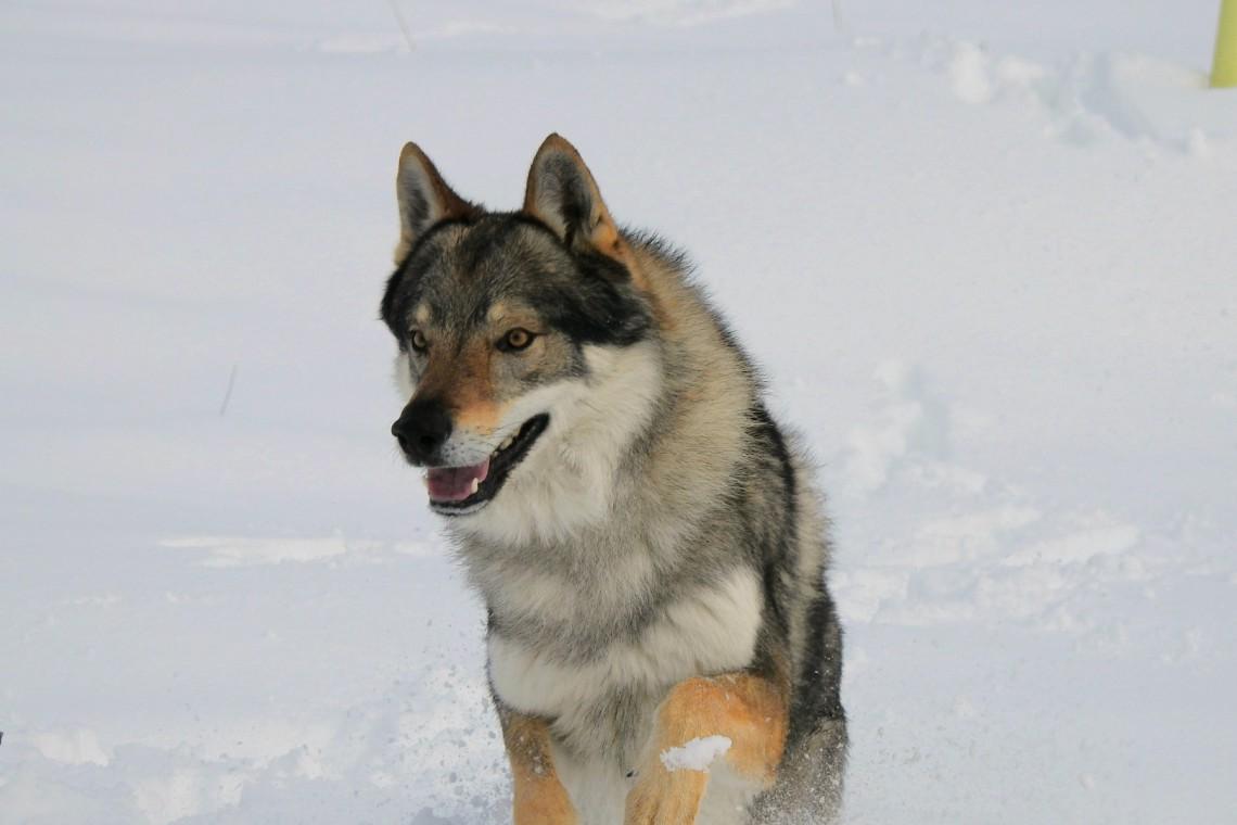 Cane Lupo Cecoslovacco Caratteristiche Del Cane Che Sembra Un Lupo