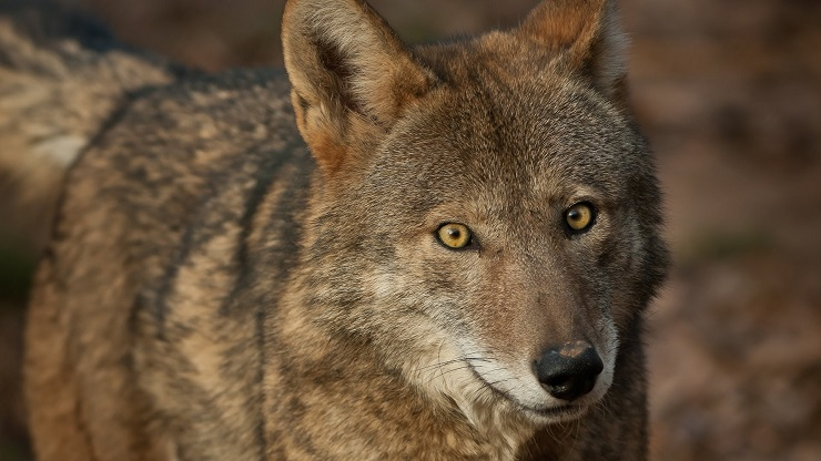 Incerto il destino dell ultimo branco di lupi rossi del - Foto di animali dell oceano ...