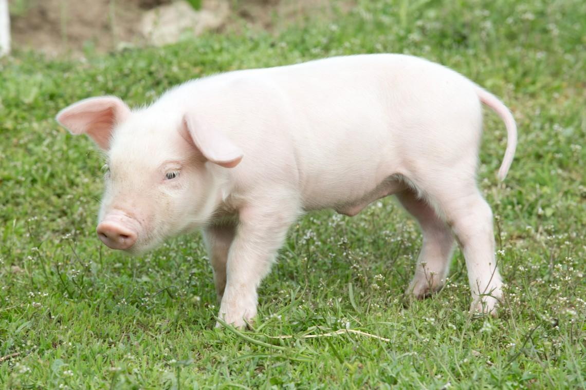 Piccola fattoria degli animali dove i maiali salvati for Piani di riproduzione della fattoria