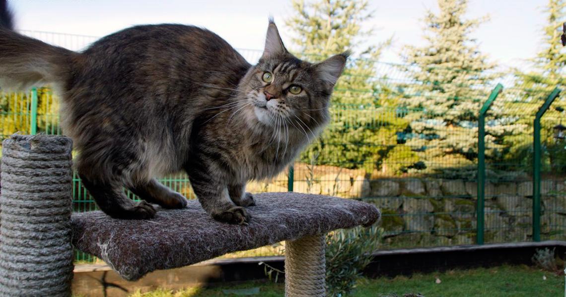Maine Coon Il Gatto Americano Che Somiglia A Una Lince Lifegate