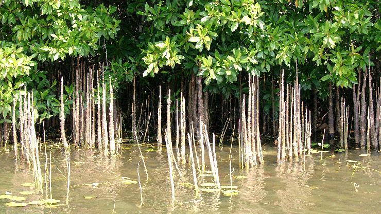 Le Mangrovie Ricrescono In Sri Lanka Grazie Alle Donne
